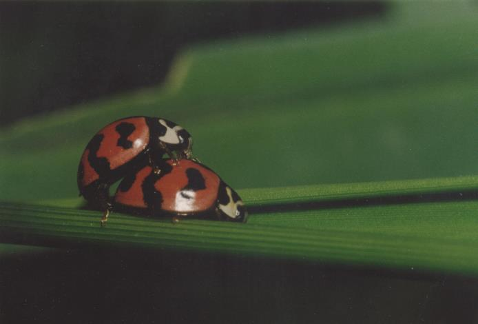 圖3.攝影作品-瓢蟲的交配。[另開新視窗]
