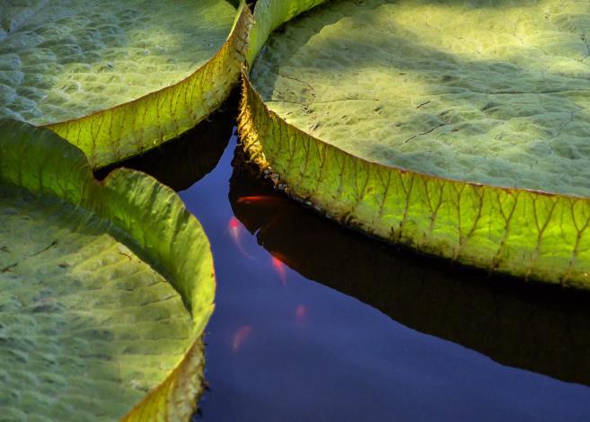 圖3. 「水中來客」蓮花盛開,池畔圍繞人群歌詠頌讚盛荷之美,魚兒來湊熱鬧攝自李鎮國