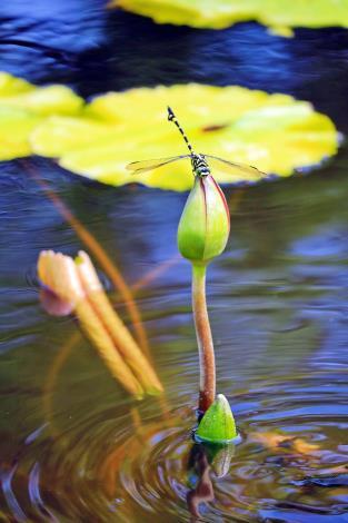 圖4. 「漣漪」表現無風水面琉璃滑,驚起蜻蜓掠蓮飛之美攝自楊國亨