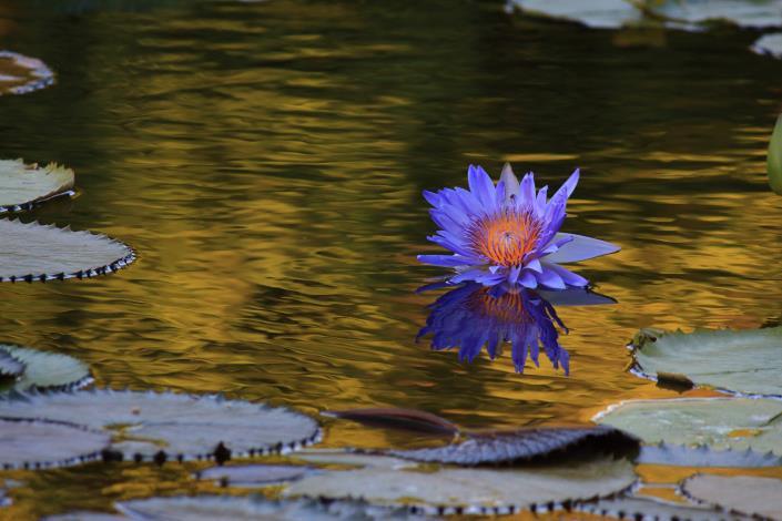 圖5.「池畔夕月 蓮影搖黃」呈現夕陽下滿池金水的睡蓮之美攝自李雅卉