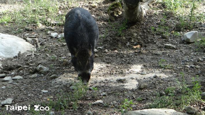 臺灣野豬開心吃著用「麩皮」特製的雙十下午茶