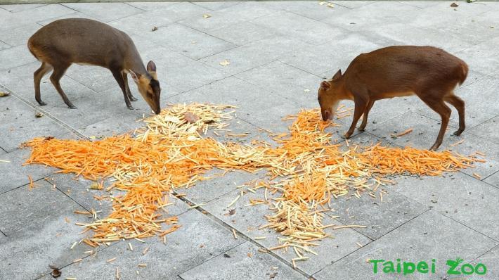 雙十連假記得來動物園拜訪老朋友唷!(山羌)
