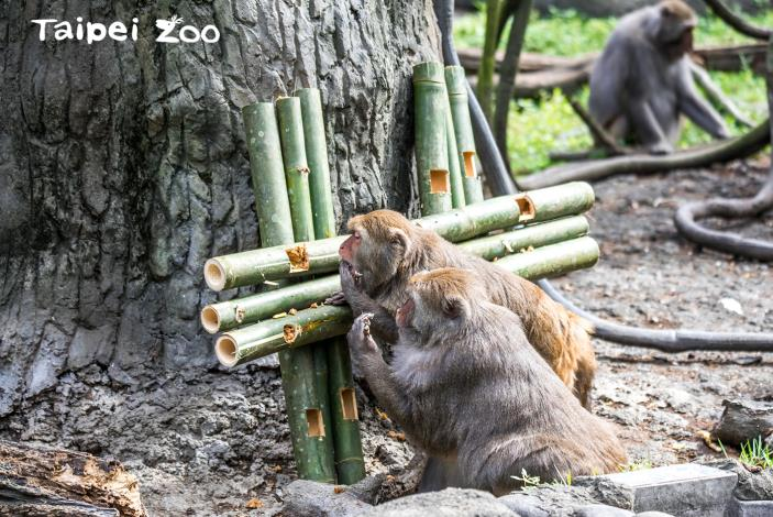 臺灣獼猴在竹筒編成的雙十行豐道具中找尋美食