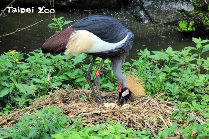 灰頸冠鶴夫妻今年產下三顆蛋