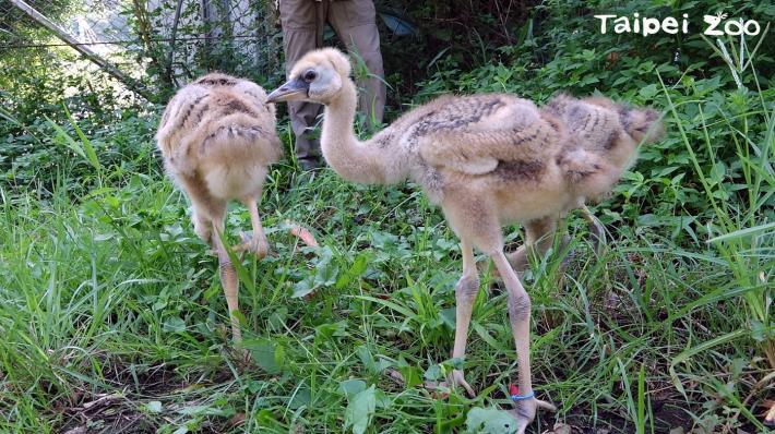 灰頸冠鶴寶寶們要成長到約56~100日齡左右才能學會飛行且展開獨立生活