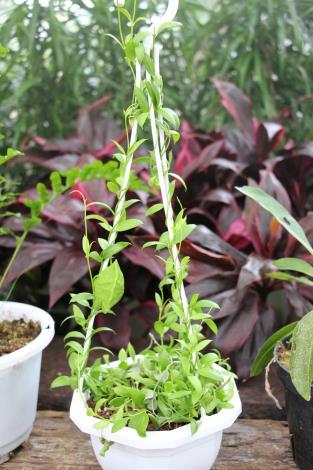 泡泡龍會產生變態葉,也是蟻植物[另開新視窗]