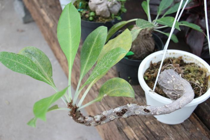 植物與螞蟻營造和諧的共生關係[另開新視窗]