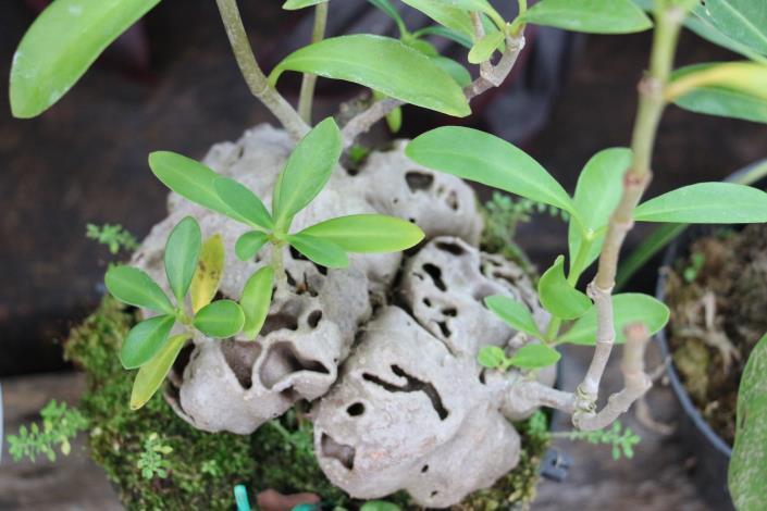 蟻巢玉莖幹基部內有許多通道、孔室,提供螞蟻做為居所[另開新視窗]