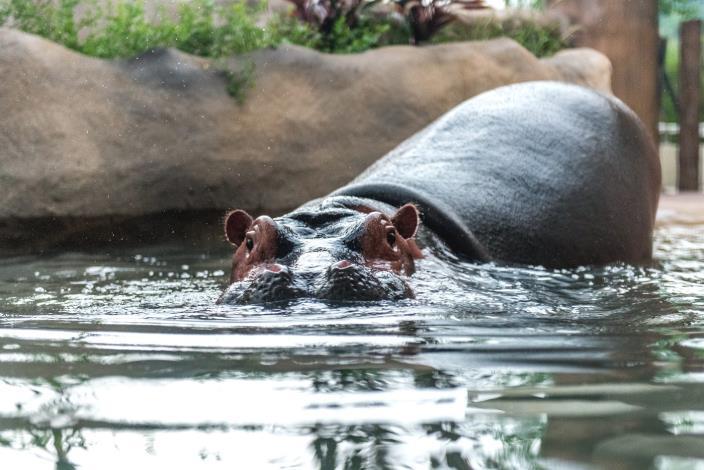 河馬白天幾乎都泡在水中,只露出長在頭頂的眼睛、耳朵、和鼻孔