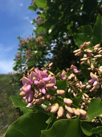 水黃皮淡紫色成串密生的小花