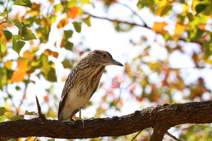 烏桕樹上的夜鷺亞成鳥