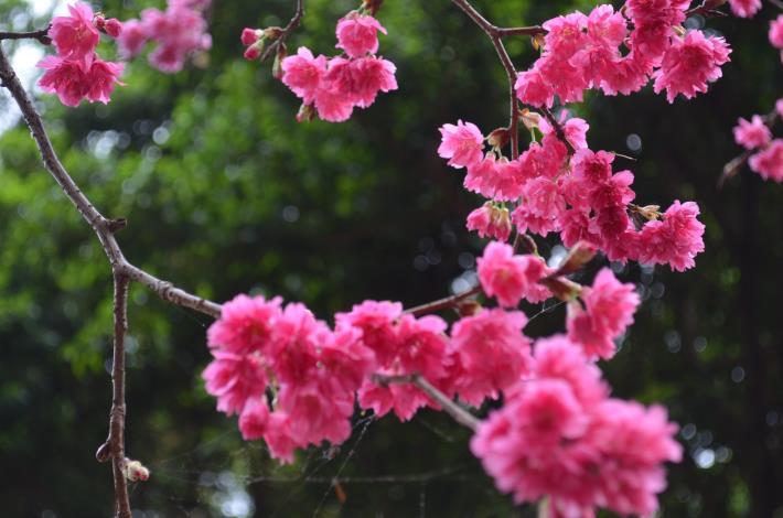 中崙里八重櫻盛開