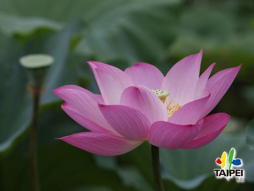 Taipei Botanic Garden _ Lotus _ ...