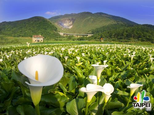 Yangmingshan Calla Lily