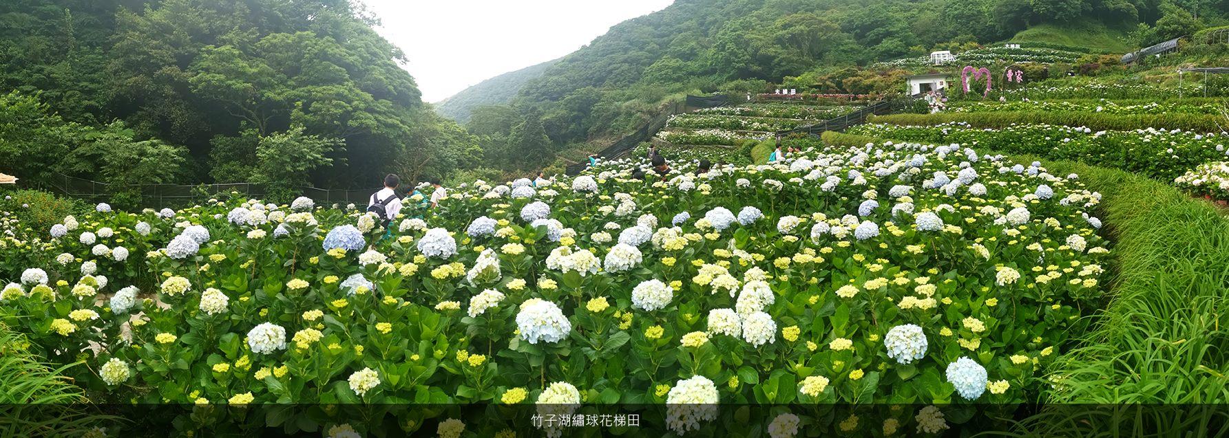 竹子湖繡球花梯田