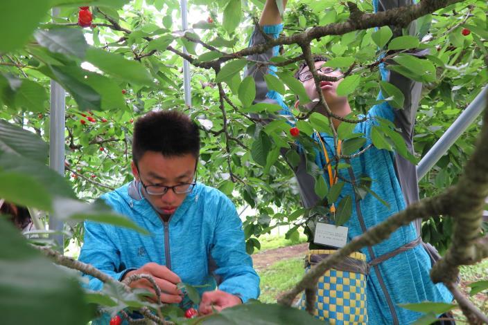 圖1學生在青森縣南部町農家進行櫻桃採收實作.JPG