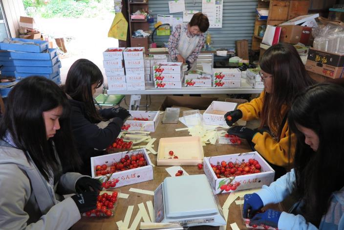 圖3學生在青森縣南部町農家進行櫻桃分級包裝作業.JPG