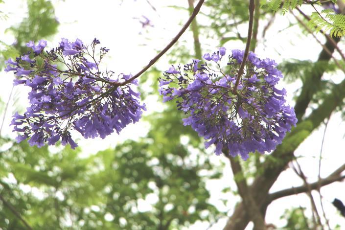 圖5:春天開花,花朵著生於枝條,花序密集[開啟新連結]