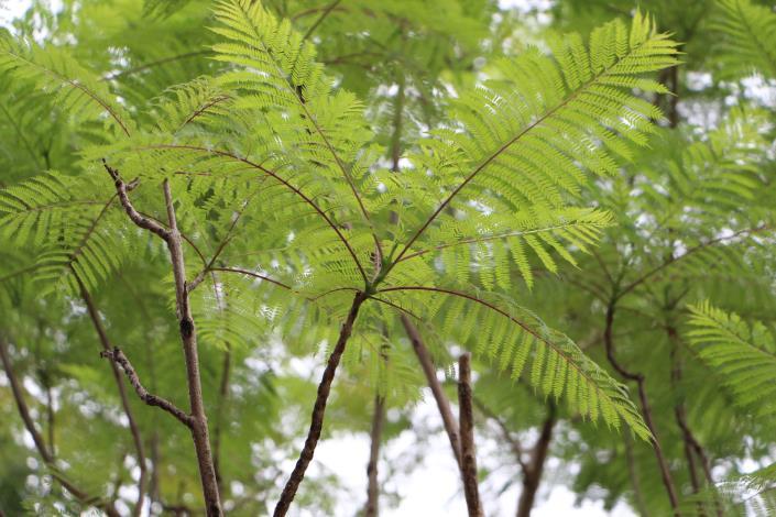 圖4:葉子背面呈淡綠色.JPG[開啟新連結]