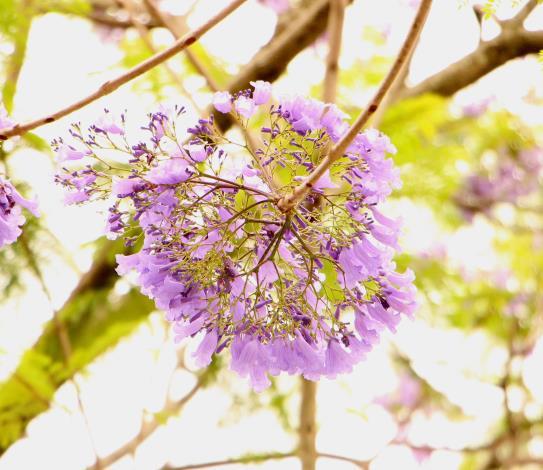 圖10:串串藍紫色小花,為春天染上夢幻的色彩[開啟新連結]