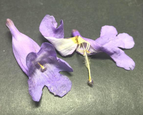圖9:花內有雄蕊4枚,不伸出花冠外[開啟新連結]