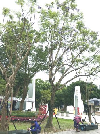 圖11:樹幹粗壯挺直,猶如房屋之柱,故稱「楹」[開啟新連結]