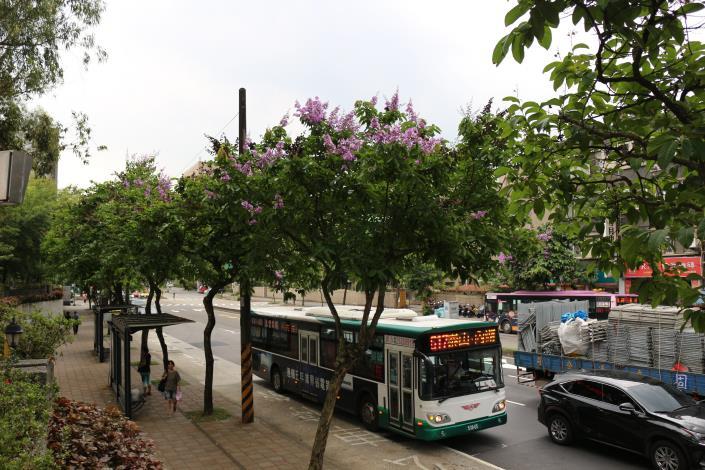 圖9大花紫薇的栽植極為普遍.JPG