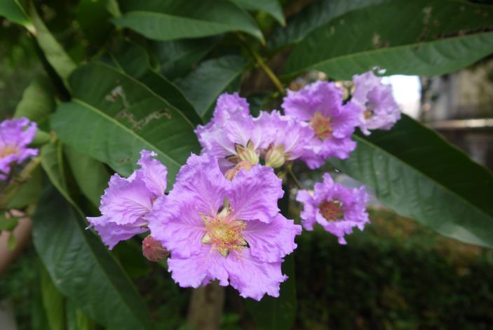 圖7花瓣6枚,花瓣表面和邊緣狀如蕾絲般,相當獨特.JPG