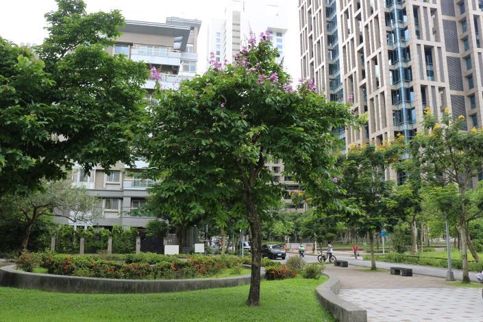 圖1樹幹通直的大花紫薇,為千屈菜科紫薇屬落葉喬木.JPG
