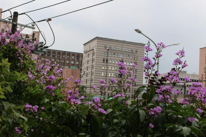 圖6紫紅色的花朵在枝條頂端成串朝上生長.JPG