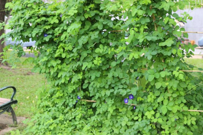 圖1蝶豆是豆科蝶豆屬多年生木質藤本植物.JPG