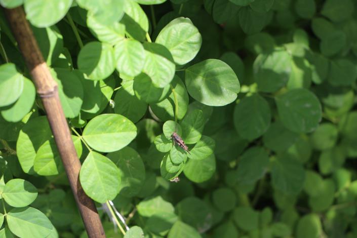 圖5蝶豆喜歡高溫日照充足、排水良好的環境.JPG