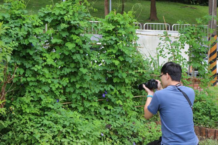圖9可以到仰德2號公園及合成公園欣賞蝶豆花.JPG