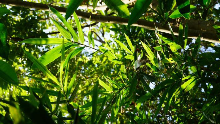 24士林地區特有珍稀植物-八芝蘭竹,是臺灣原生種竹類植物.JPG