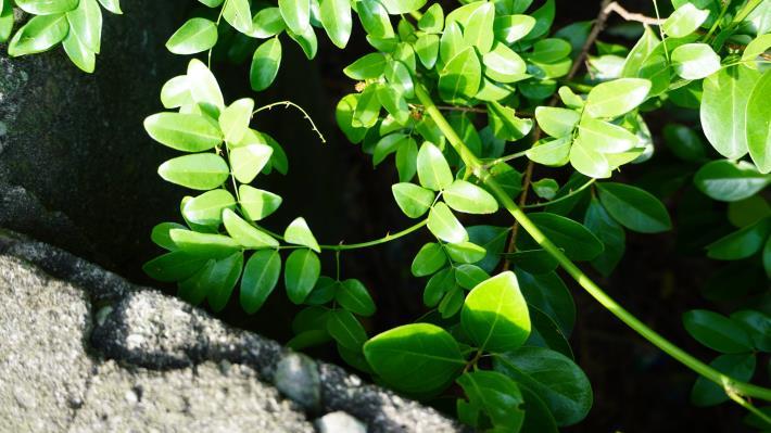 27-海岸植物-搭肉刺,臺灣主要分布於恆春半島,北部地區較少,而芝山岩是其中之一.JPG