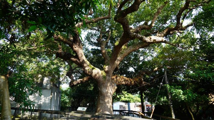 22大樟樹聳立在芝山公園,從前清、日據時代至今,已有3百歲了.JPG