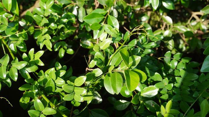 28-搭肉刺為攀緣性豆科植物,藉由枝條和葉柄上短小的勾刺,攀附在其他植物身上.JPG