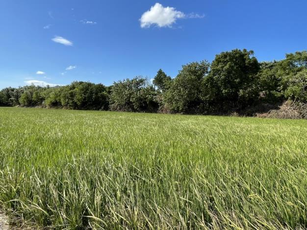 照片9來此還可以就近觀察稻作生長
