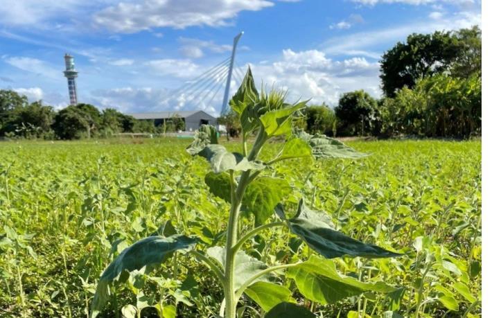 照片6為您實況報導現場花況,圖為挺立的向日葵