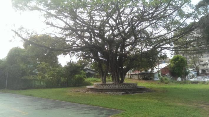 新和國小北基地既有老樹[另開新視窗]