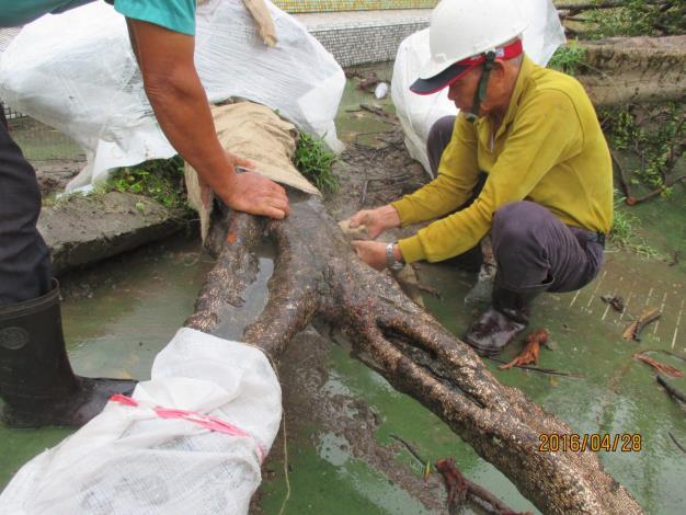 樹木移植施工作業(榕樹10株、大王椰子1株)
