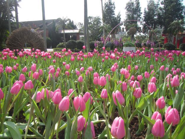 圖1.浪漫的粉紅色鬱金香,美不勝收.JPG