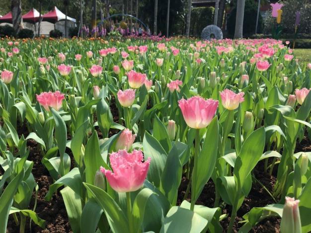圖2. 羽狀花型的粉紅色鬱金香