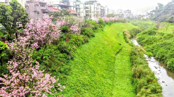 美麗櫻花河(綠美化協會提供)