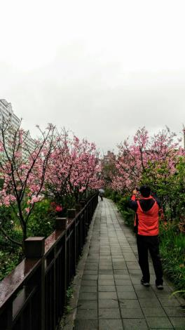 櫻花林第三區1(綠美化協會提供)