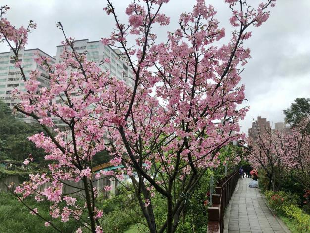 櫻花林第三區2(綠美化協會提供)