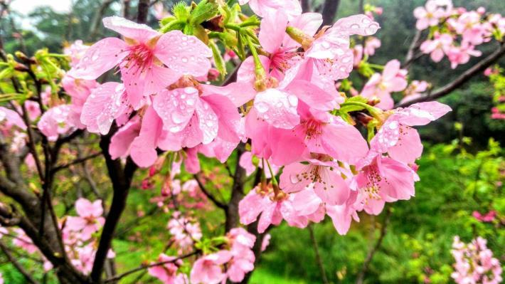 第三區櫻花(綠美化協會提供)