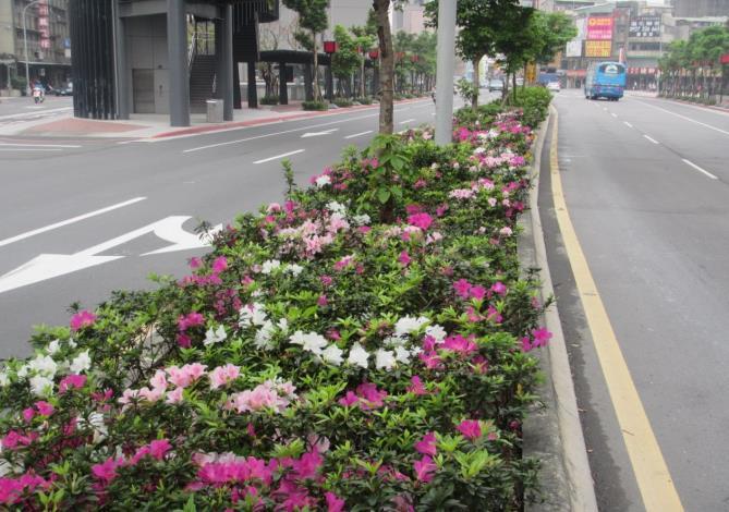 圖21.艋舺大道杜鵑花已有路段搶先盛開 期待看到後續杜鵑花滿開的景象