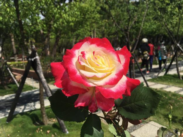 圖1.士林官邸玫瑰園各色玫瑰陸續開放中.JPG[開啟新連結]