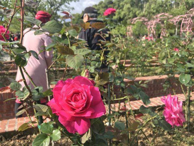 圖2.士林官邸玫瑰園各色玫瑰陸續開放[開啟新連結]